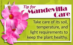 here u0027s a mandevilla care guide to help you nurture the plant well