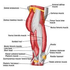 Lateral Patellar Ligament Smrt Thigh U0026 Knee Massage Magazine