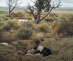 a badger can bury a cow by itself unews