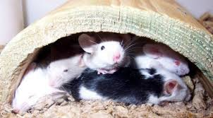 Are Mice Blind Health Problems In Pet Mice Pethelpful