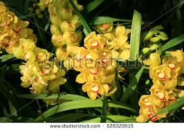 yellow orchids yellow orchids stock images royalty free images vectors