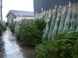 real christmas trees for sale christmas trees for sale buy real christmas trees belfast northern