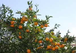 native north texas plants super cold hardy satsuma orange frost named texas superstar