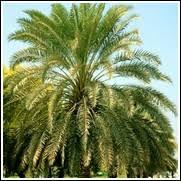 sylvester palm tree sale buy sylvester palm trees sylvester palm tree sale find