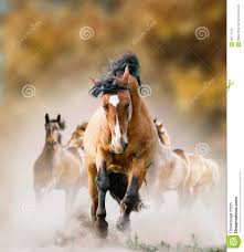 mustang horse running wild horses running in autumn stock photo image 58771579