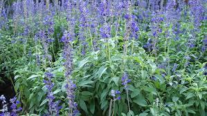 Salvia Flower Beautiful Purple Lavender Closeup Of Blue Salvia Flower Field