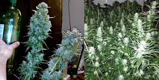 how to use co2 to increase cannabis yields grow weed easy