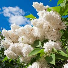 lilac plant types u2013 learn about different varieties of lilac