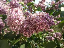 189 best a fragrant garden images on pinterest gardening indoor