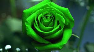 green roses green roses hd desktop background