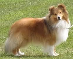 belgian sheepdog rescue uk shetland sheepdog breeders breed clubs and rescue