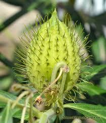 usda native plants gomphocarpus fruticosus swan milkweed for monarchs