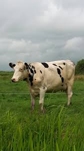 1035 best u003c3 cows u003c3 images on pinterest country life country