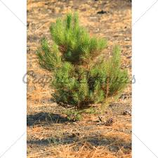 landscape idea pictures of small pine trees for landscaping