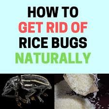 tiny brown bugs in my kitchen cabinets how to get rid of rice bugs rice weevils naturally bugwiz