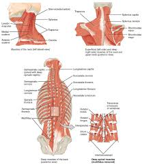 Axial Shoulder Anatomy 11 3 Axial Muscles Of The Head Neck And Back Anatomy And