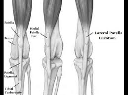 Lateral Patellar Ligament Chronic Lexation Of Petella Treatment Clp 2 Youtube