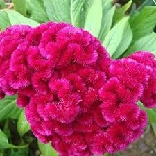 coxcomb flower coxcomb celosia le mera gardens