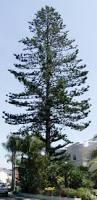 wierd pine tree