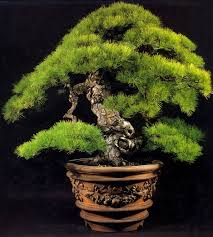 232 best bonzais images on bonsai trees gardening and
