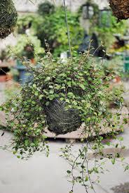 Vine House Plants 61 Best Angel Vine Images On Pinterest Indoor Plants Plants