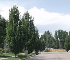 oak columnar thetreefarm