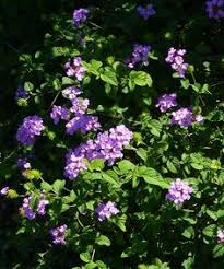 Fragrant Container Plants - heliotrope heliotropium fragrant attracts butterflies annual