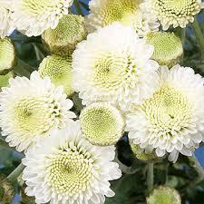 button flowers fresh white chrysanthemum button flowers global