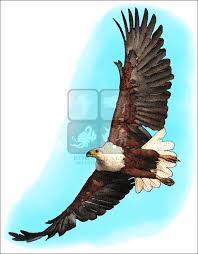 african fish eagle haliaeetus vocifer line art and full color