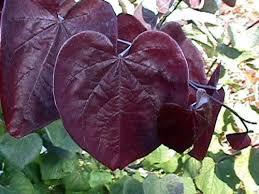 ornamental trees and shrubs with reddish purple foliage page 3