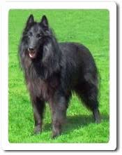 belgian sheepdog laekenois belgian sheepdog groenendael guide to belgian sheepdogs