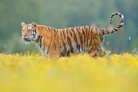 si e habitat tigre con i fiori gialli tigre siberiana in bello habitat tigre dell