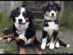 australian shepherd dog puppies australian shepherd puppy and bernese mountain dog playing