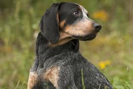 is a bluetick coonhound a good pet guide to dog breeds