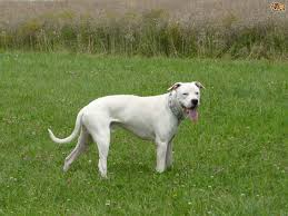 american pitbull terrier puppies for sale uk the four dog breeds banned within the uk pets4homes