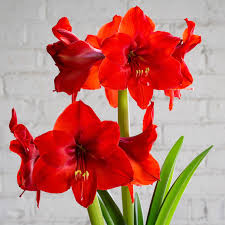 Amaryllis Flowers Amaryllis Bulbs Dutch Flower Bulbs At Wholesale Prices