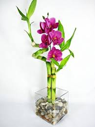 9greenbox lucky bamboo spiral style with silk