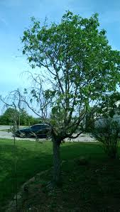 half of my cherry tree is not doing so well ask an expert