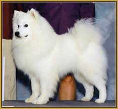 pics of american eskimo dogs american eskimo dog eros american eskimos