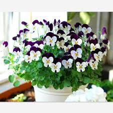 30 seeds pack beautiful pansy seeds indoor ornamental plants