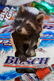 51 best critters bad rap raccoons images on pinterest animals
