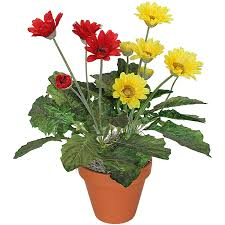 gerbera plant gerberadaisy jpg