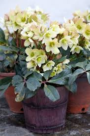 hellebores the winter rose