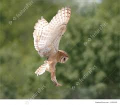 barn owl in flight picture
