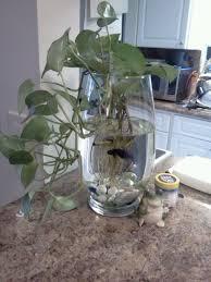Beta Fish In Vase Best 25 Vase Fish Tank Ideas On Pinterest Betta Fish Bowl