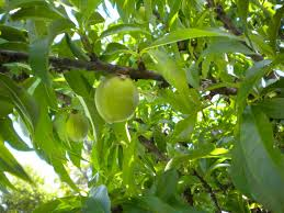 Fruit Tree Identification - hd tree identification by fruit images