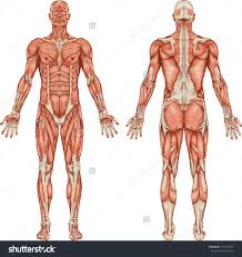 Body Anatomy Back Organs In The Back Of Body Human Body Anatomy Vector Medical