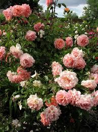 beautiful plants download beautiful rose plants solidaria garden