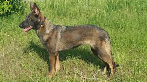 belgian malinois names resembling dogs from the past german shepherd dog forums