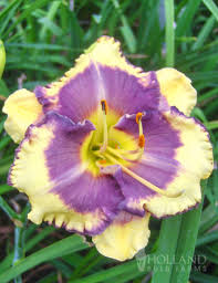 day lillies blueberry daylily 86106